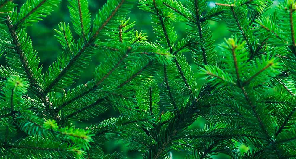 Gran fir tree engelska
